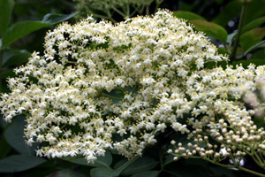 Wild Elderflowers