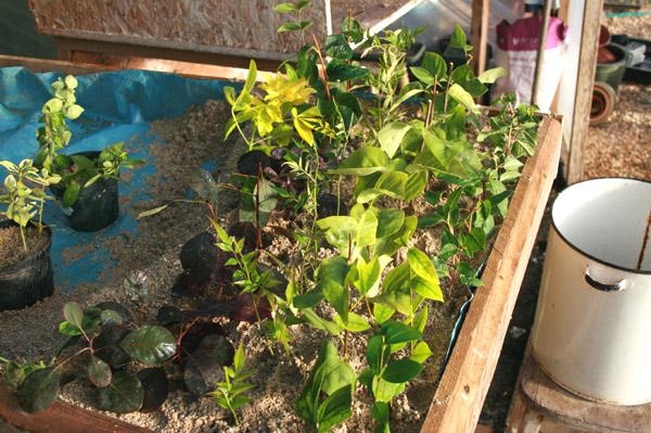 Softwood and Semi Hardwood cuttings growing away