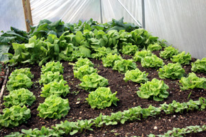 Growing Your Own Vegetables in the Polytunnel