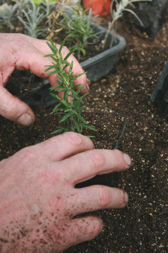 Propagating from cuttings - Rosemary plants
