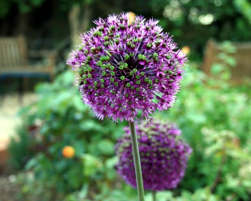 Alium's from the borders at Blackbirds