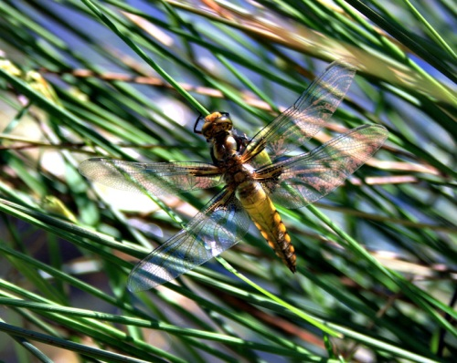 Dragon Fly Captured By The Wildlife Pond By The Rural Gardener
