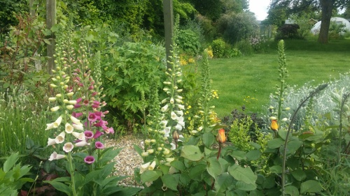 Foxgloves growing naturally