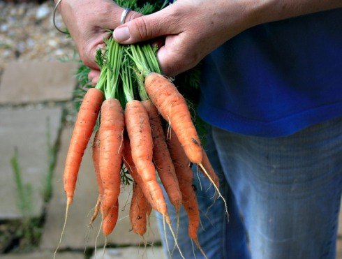 fresh-carrots
