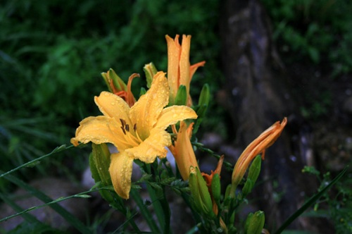 Hemerocallis or 'Day Lilly'