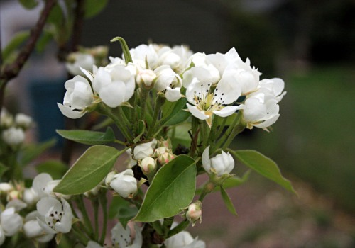 Spring Pear Blossom at Blackbirds