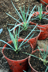 Carnation plants grown from Cuttings