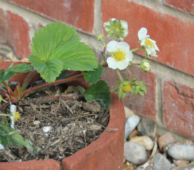 Rural Gardener - Last years strawberry plant