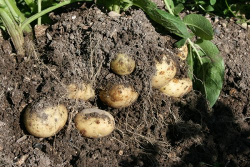 Last years second early potato crop
