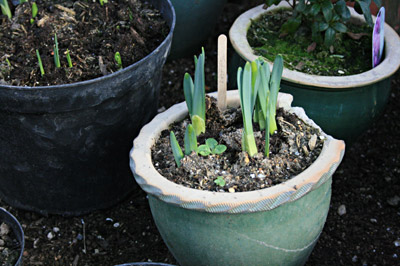 Daffodil bulbs growing in the polytunnel