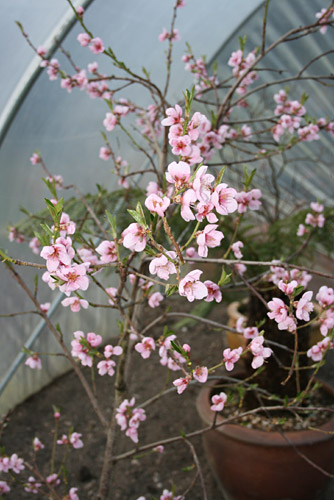 signs of Spring coming, necterine blossom