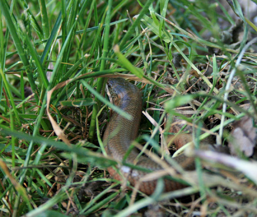 Legless Lizard - A Slow Worm spotted by the pond