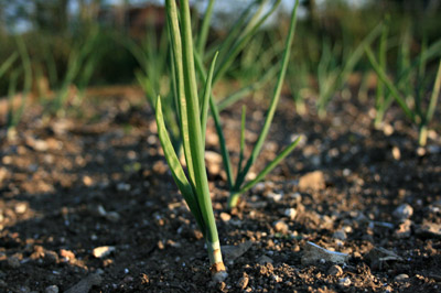 How to grow onions the organic way with the Rural Gardener
