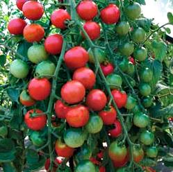 Cherrola Tomatoes