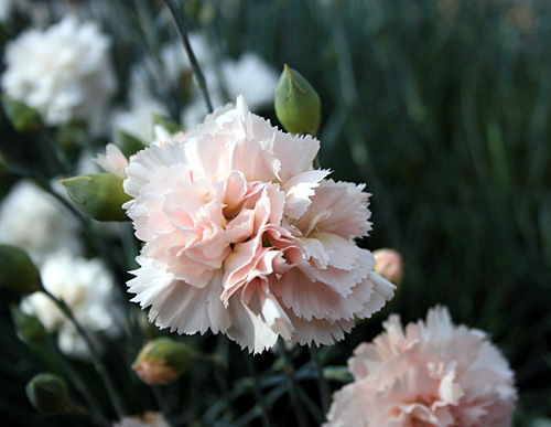 Scented Carnations