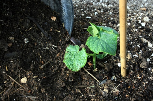 Preserve moisture by mulching around cucumber plants