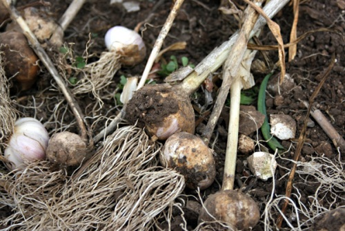 Drying garlic bulbs in the summer sun