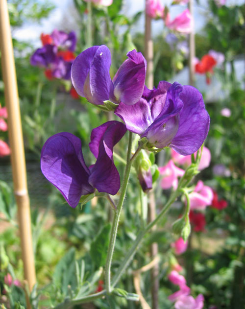 Sweet Peas, the heady scent of summer