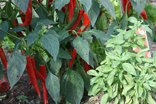 This years Chilli's in the polytunnel of the Rural Gardener