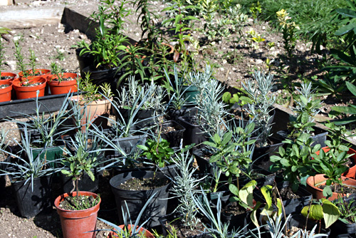 Rooted Cuttings Waiting to Go Into The Polytunnel For The Winter