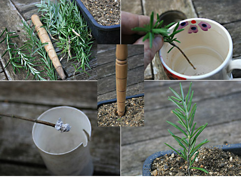 Healthy Rosemary Plants
