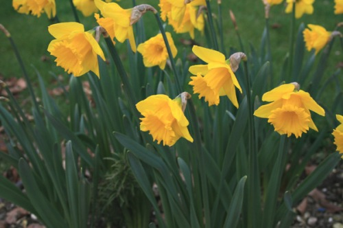Spring Daffodils are flowering their hearts out!