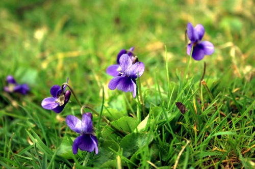 Viola's growing wild in the lawn