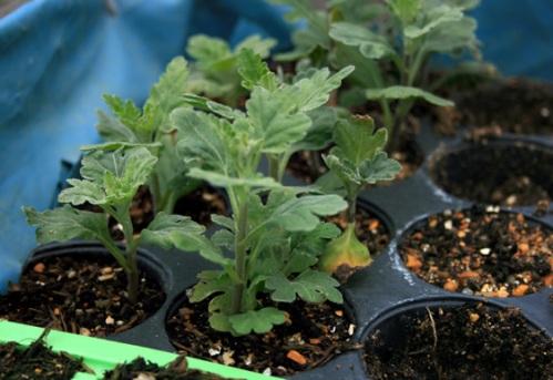 Young Chrysanthemum cuttings