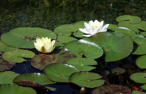The recent sunshine brings out the water lily flowers