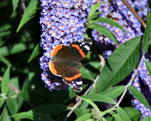 Buddleia davidii or butterfly bush