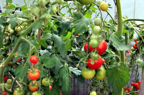 Warm aroma of ripening tomatoes