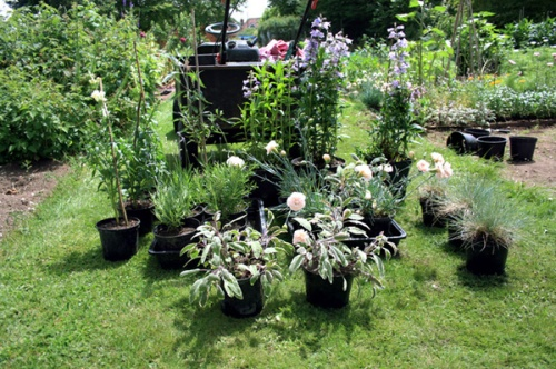 You can grow plants like these from softwood cuttings
