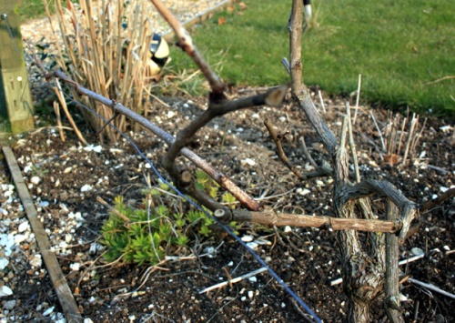 winter-prune-grape-vine