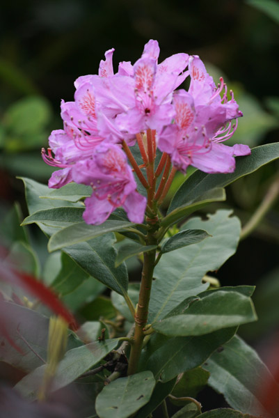 Classic Rhododendron ... I have this gorgeous specimen  growing in a large wooden barrel filled with organic compost