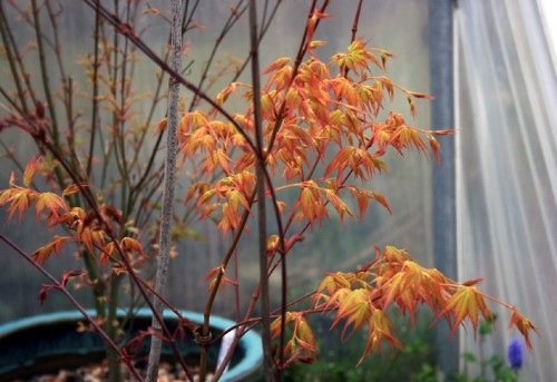 Acer - Orange Dream ... one of my favourite plants.