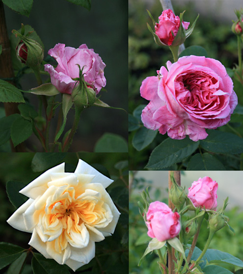 Rose-Cuttings