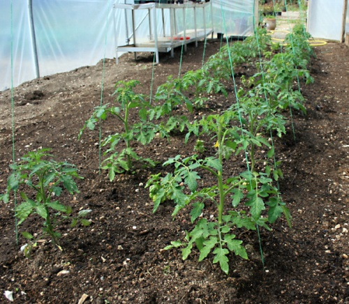 How to support tomato plants using string