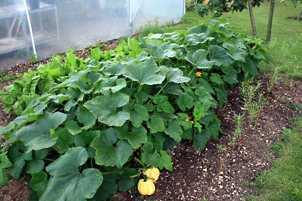 How To Grow And Cook Squash Plants