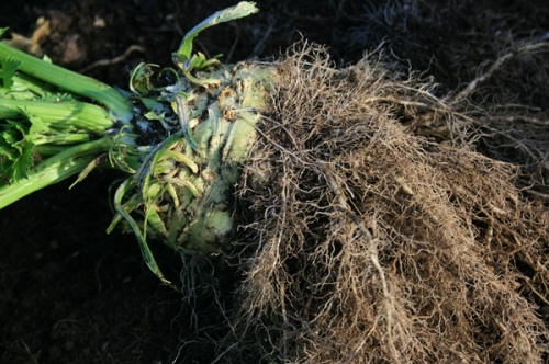 Celeriac - How To Grow And Cook Your Own Celeriac With The Rural Gardener