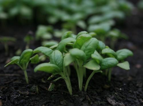 Baby Basil plants