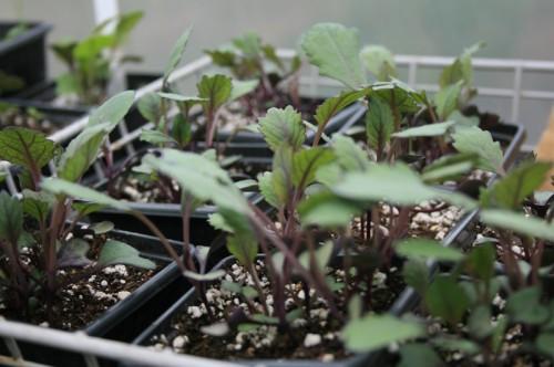 Kohl Rabi Plants