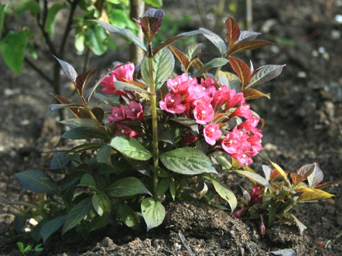Last years pink weigelia plants raised from softwood cuttings in early June