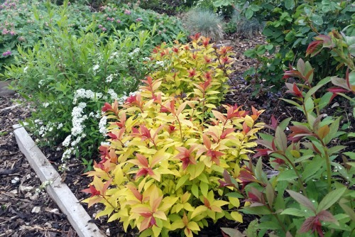2 Year Old Goldflame Spirea growing away in the nursery bed
