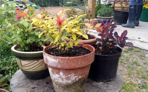 1 Year Old Gold Flame Spirea
