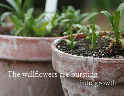 Wallflowers bursting into growth