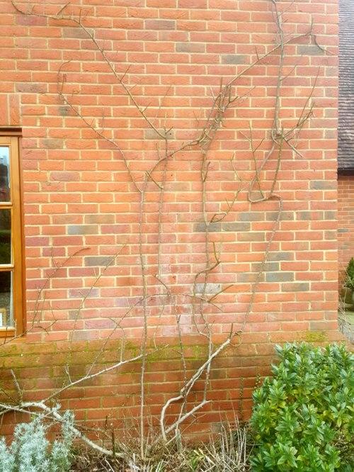 pruning-roses2