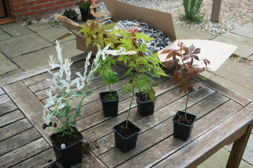 Young Acer Plants