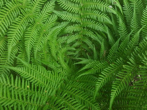 Tree Fern Dicksonia Antarctica
