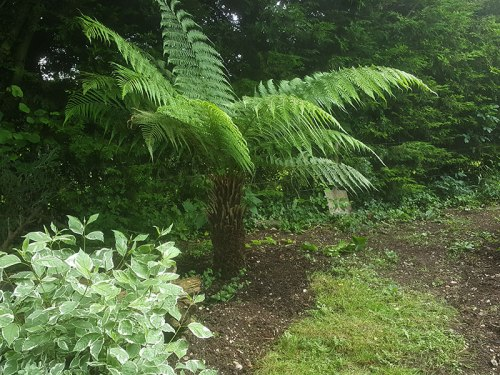 tree-fern-4